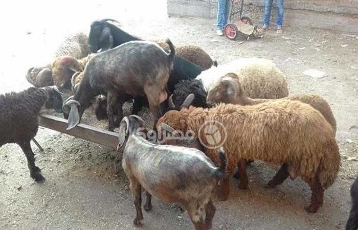 """بالصور- خروف العيد في كفر الشيخ """"للفُرجة فقط"""".. وتجار: أسعار الأعلاف السبب"""