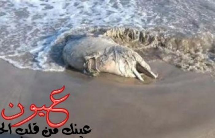للمرة الثانية في اسبوع ظهور دولفين نافق على شواطئ دمياط الجديدة