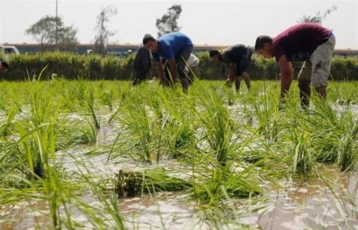"""""""الري"""" تصدر قرارًا وزاريًا بتحديد مساحات زراعة الأرز هذا العام"""
