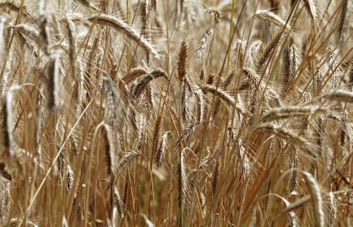 مصر تشتري 2.7 مليون طن من القمح المحلي منذ بداية الموسم