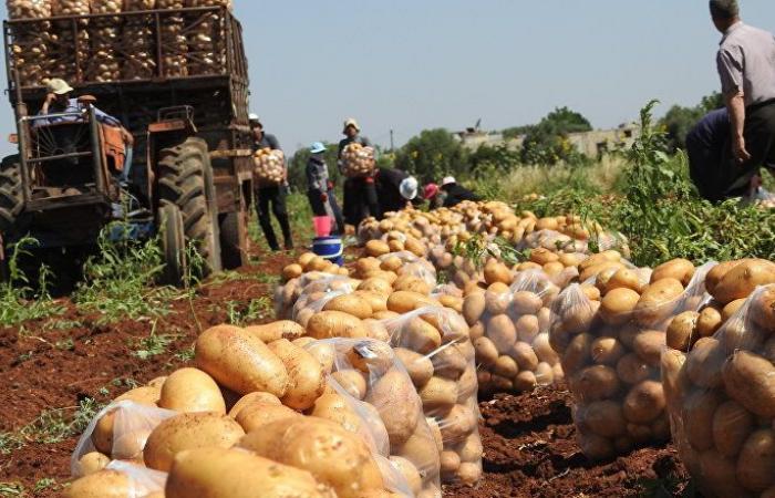 بلدة تحاذي خطوط التماس شمال حماة وتنتج أفضل أنواع البطاطا في العالم (فيديو وصور)