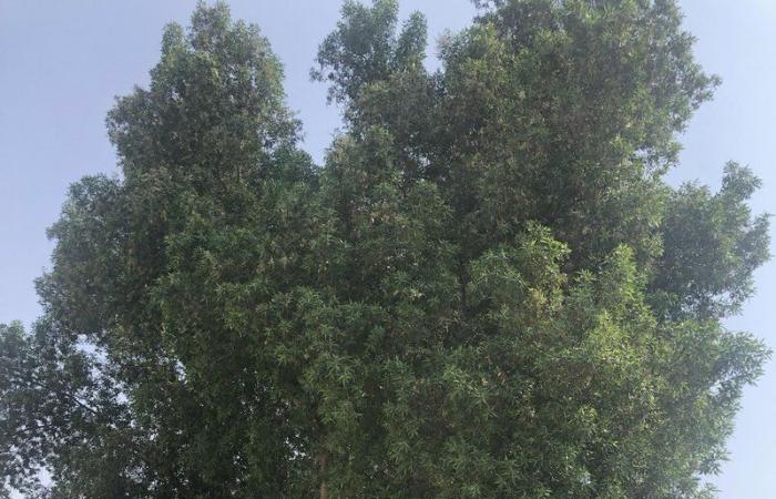 """مواطنون بجدة يطالبون باقتلاع أشجار """"البزرومي"""" لتأثيرها على الصرف الصحي وخزانات المياه"""