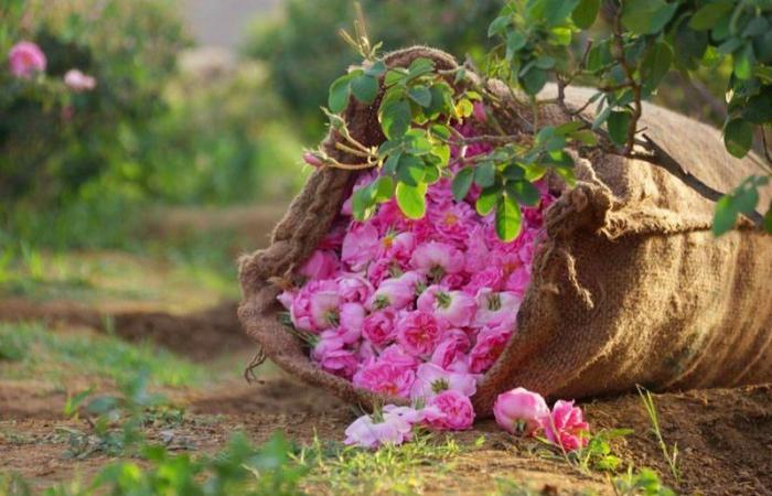 """""""الغامدي"""": الطائف تُنتج 500 مليون وردة سنويًّا"""