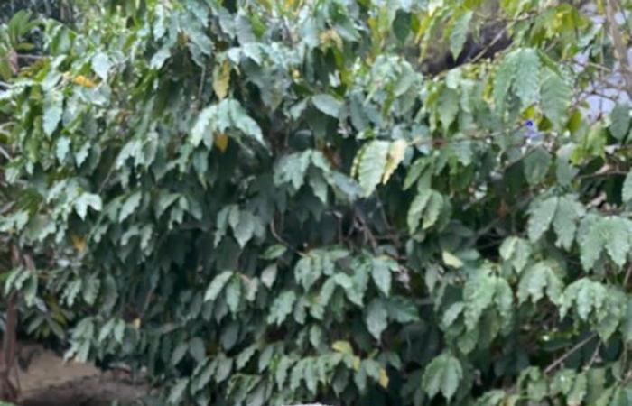 القنصل البريطاني: الدبلوماسيون بحاجة إلى قهوة من جبال جازان