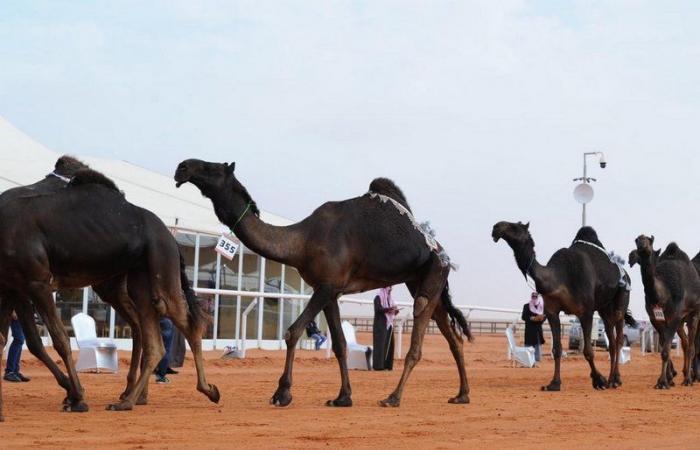 انطلاقة مهرجان الملك عبدالعزيز للإبل بدخول الفحل وإنتاجه.. غدًا