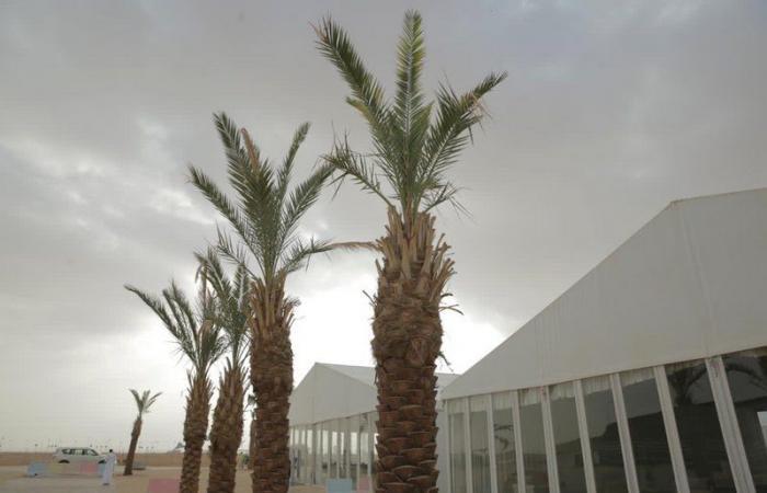 زراعة 100 شتلة.. أشجار النخل تزين مهرجان الملك عبدالعزيز للإبل