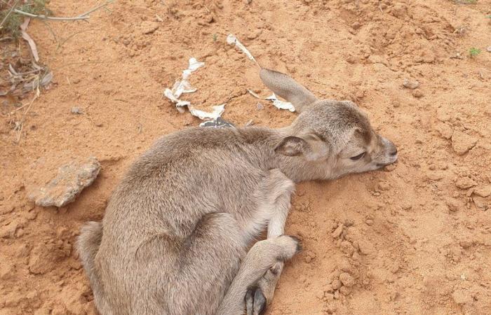 مرات.. ولادة أول ظبي في محمية الحياة الفطرية