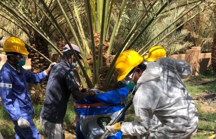 """معالجة نخلات مصابة بـ""""السوسة الحمراء"""" في مزرعة شمالي الطائف"""