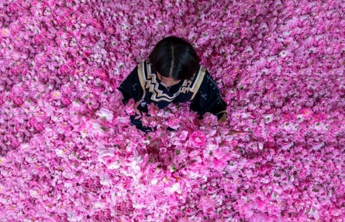 """بأيدي نساء سعوديات.. أرامكو تدشن مصنع الورد الطائفي """"روزيار"""""""