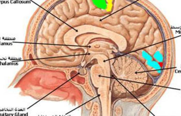 علماء ألمان يضعون أطلسا ثلاثى الأبعاد للمخ يضم أدق تفاصيله