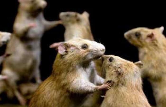 نوع من الفئران ينتج مادة تقى من السرطان