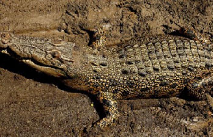 تمساح يلتهم شابا سودانيا أثناء سباحته فى النيل