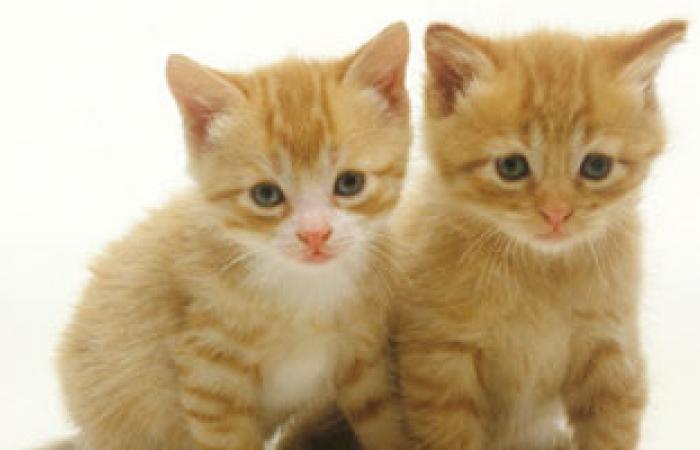 براز القطط يقلق علماء الولايات المتحدة لاحتوائه على طفيل ناقل للأمراض