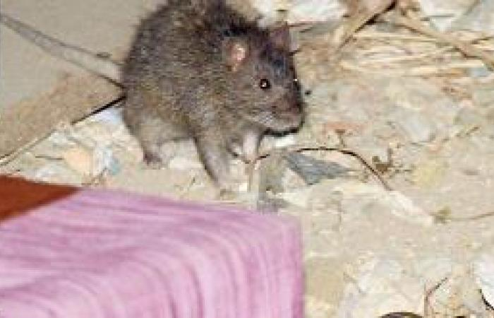 فئران الولائم تغزو بيوت «الصفا»