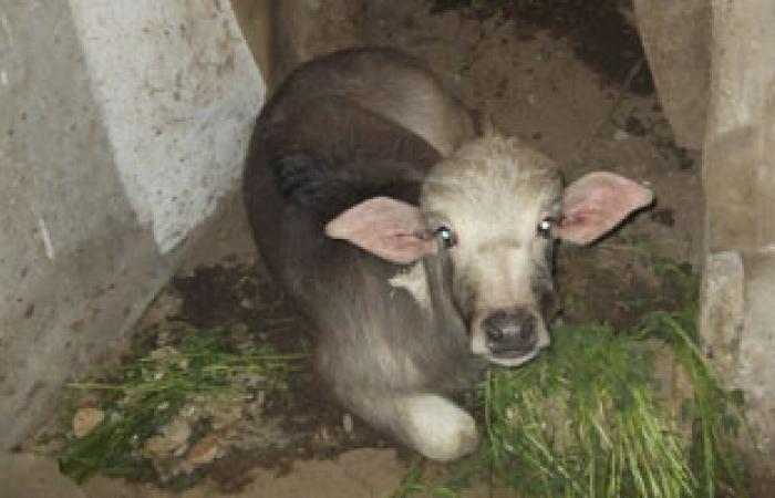 """تحصين الماشية ضد بكتيريا """"أى كولاى"""" يقلص  العدوى البشرية بنسبة 85%"""