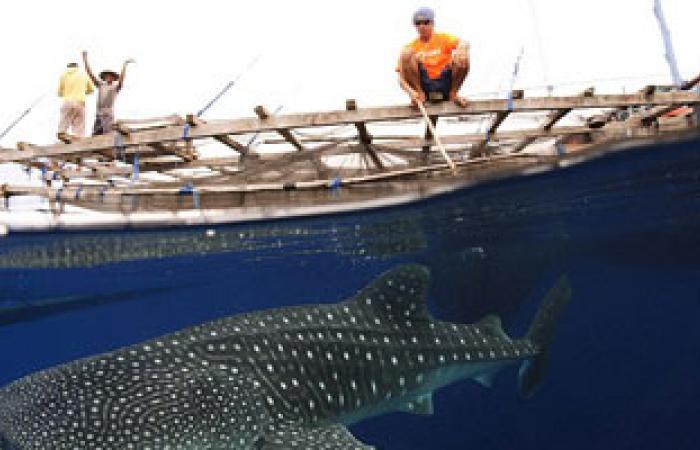 أجسام مضادة فى دماء أسماك القرش لعلاج سرطان الثدى