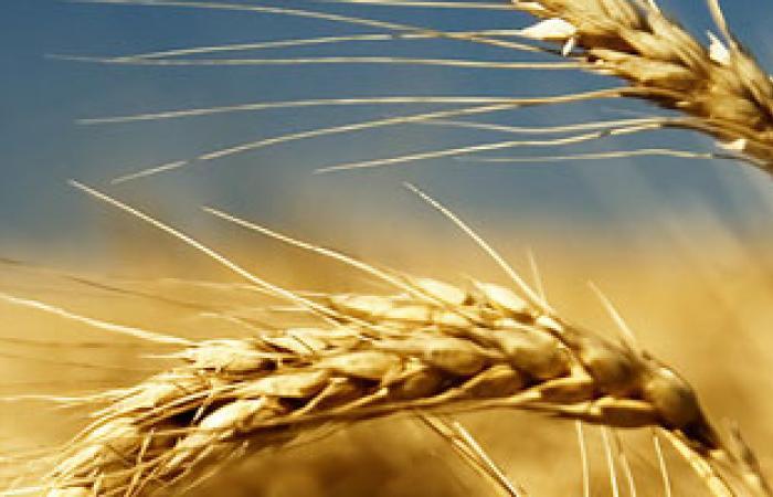 روسيا تتوقع انتعاش صادراتها من القمح إلى مصر بـ2014