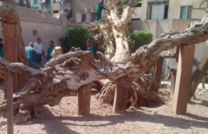 خبير آثار: شجرة العائلة المقدسة بالمطرية من بقايا حدائق كليوباترا