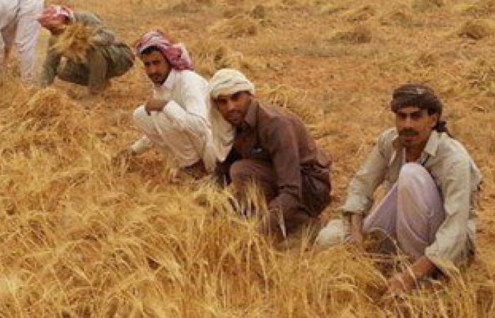 صوامع الشرقية تستقبل 12ألف طن من محصول القمح