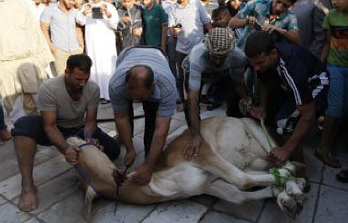 غداً.. بدء ذبح وبيع اللحوم الحية لعجول وزارة الزراعة بالبحيرة