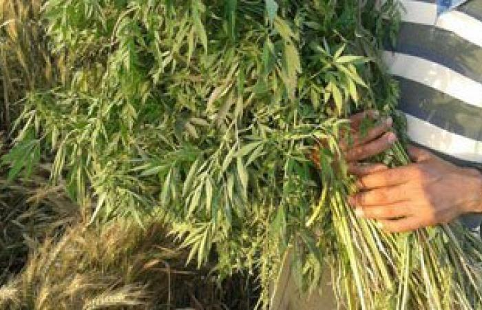 القبض على عاطل يزرع البانجو فى حديقة منزله فى فايد بالإسماعيلية