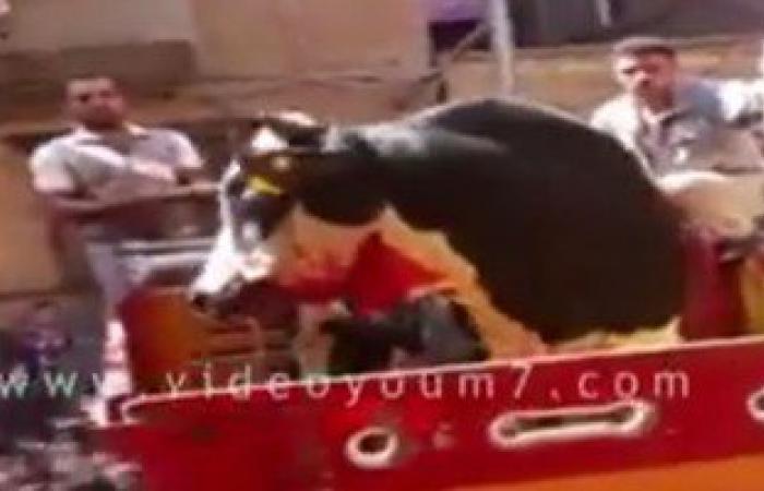 بالفيديو.. جزارون يقيمون حفلة تعذيب لعجل قبل ذبحه.. والحيوان يتتبع قاتله