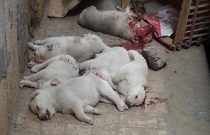 الطب البيطرى بالقليوبية: القضاء على ألفى كلب ضال خلال حملة بالمحافظة