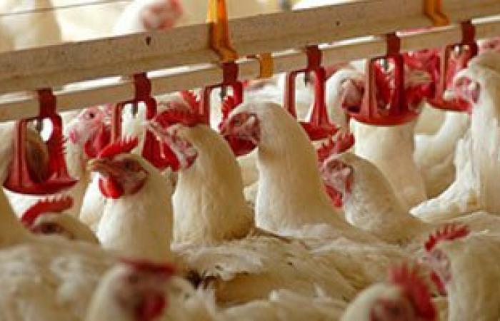 """""""الزراعة"""": تجرى اختبارات للقاح انفلونزا الطيور للتأكد من كفاءته"""