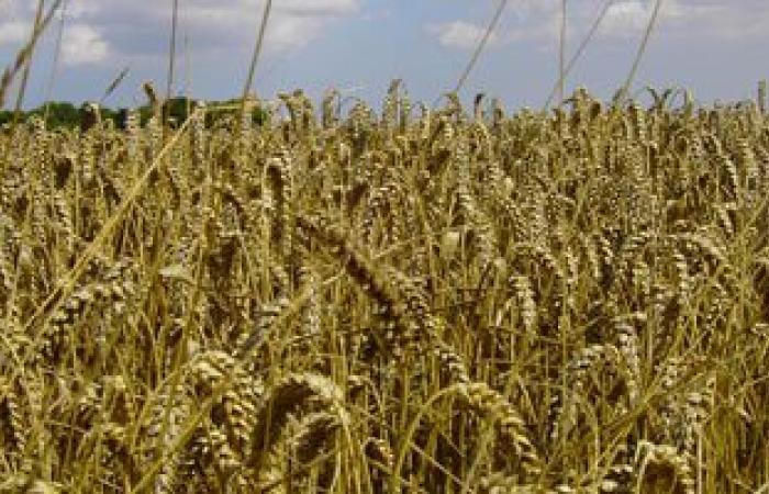 الزراعة: المساحات المزروعة بالقمح حتى الآن 2 مليون و843 ألف فدان