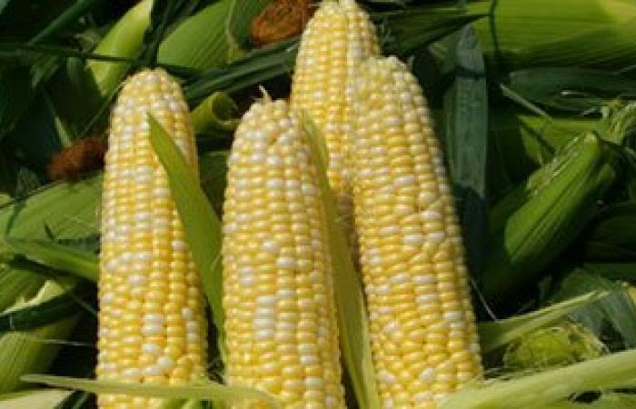 """""""الزراعة: استنباط اصناف جديد من الذرة الصفراء لزيادة المساحات لمليون فدان"""