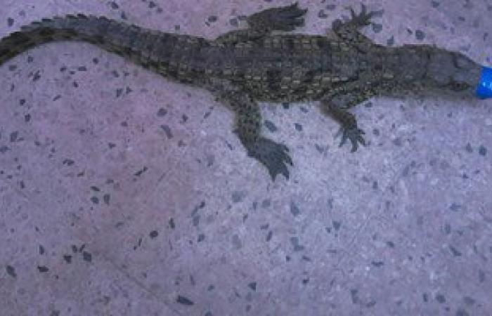 ننشر صورة تمساحى مسطرد الذى عثرت عليه وزارة البيئة بطول نصف متر