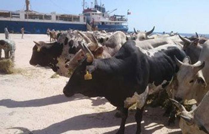"""""""الزراعة"""":طرح  40 ألف رأس ماشية حية بالأسواق لمواجهة غلاء الأسعار"""
