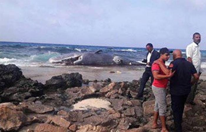 البيئة: نقل الحوت النافق بمرسى مطروح للظهير الصحراوى بالمحافظة لدفنه صحيا
