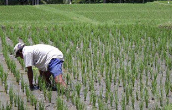 """""""الزراعة"""" تدشن برنامجا إرشاديا بالوادى الجديد للتوعية بأهمية المحاصيل البديلة للأرز"""