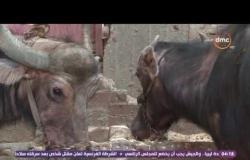 السفيرة عزيزة - طريقة حلب اللبن السائب بمزارع المواشي