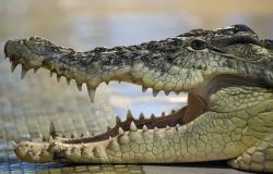 """سر ظهور """"تمساح بني تميم"""" جنوب الرياض (فيديو)"""