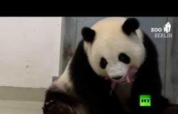 ولادة أول توأم باندا في حديقة حيوان برلين