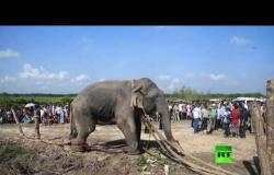 """القبض على الفيل """"بن لادن"""" بعد قتله 5 أشخاص في الهند"""