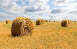 الحبوب السعودية تطرح مناقصة لشراء مليون طن شعير علفي