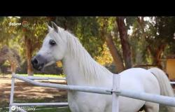 العيون الواسعة والكاريزما القوية.. صفات الخيول العربية