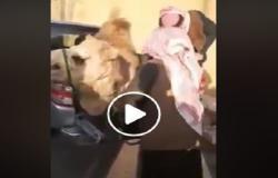 بالفيديو : أردني ينحر جملا للترحيب بالامير تميم