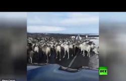 """""""زحمة"""" من الأيائل تعرقل مرور سيارة محافظ روسي"""