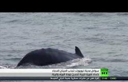 تدفق الحيتان الحدباء إلى سواحل نيويورك