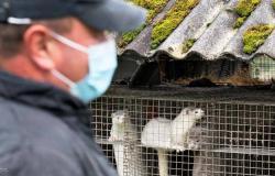 مذبحة بسبب كورونا.. إعدام 2.5 مليون حيوان في الدنمارك بعد انتشار العدوى بينها