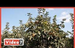فيشا بنا أصل الكاكا .. شاهد حصاد المحصول وحكايته من اليونان لمصر