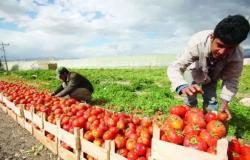 """قناة السومرية.. """"السعودية"""" تستورد 5 آلاف طن من الطماطم العراقية"""
