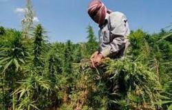 """في ظل الانهيار الاقتصادي.. لبنانيون يتحولون من زراعة البطاطس إلى """"الحشيش"""""""