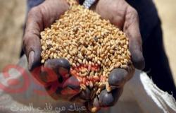 حصاد 4500 فدان قمح بدمياط