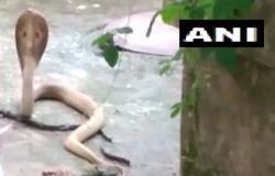 فيديو مخيف.. حيوان رقيق يواجه كوبرا ويمنعها من دخول منزل
