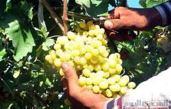 نقيب الفلاحين : العنب يحتل المركز الثاني في صادرات مصر من الفاكهة بعد الموالح
